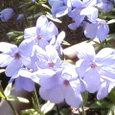 青紫のつるはなしのぶ