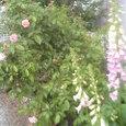 雨の中のジギタリスとコーネリア