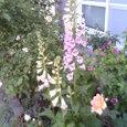 ジギタリスと薔薇