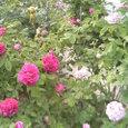 薔薇の盛り