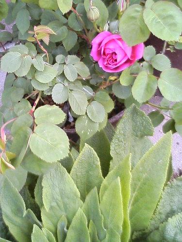 ジギタリスの葉と紫燕飛舞
