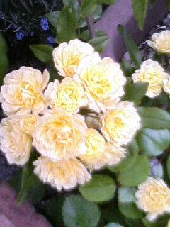 黄モッコウ薔薇